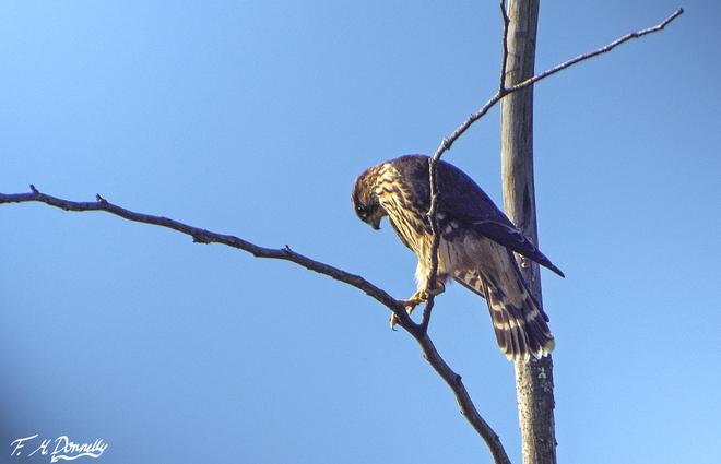Cooper's Hawk Smiths Falls, Ontario Canada