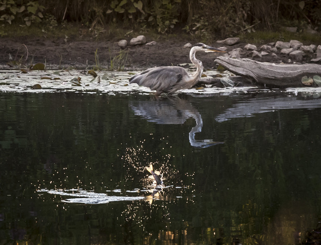 Blue Heron - The One that got Away Guelph, Ontario Canada