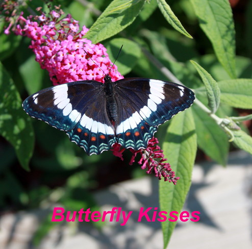 Butterfly Kisses Picton, Ontario Canada