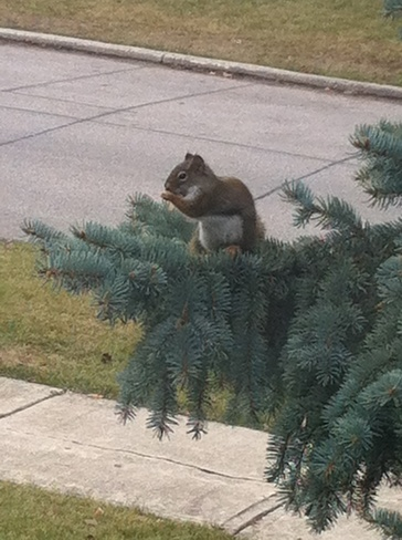 squirrel Winnipeg, Manitoba Canada