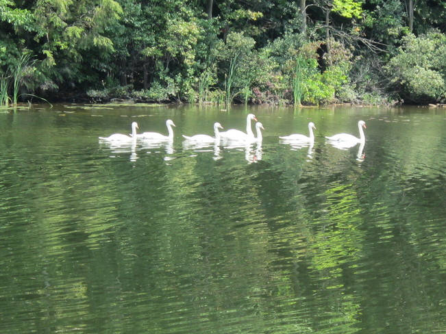 seven swans a swimming Chesley, Ontario Canada