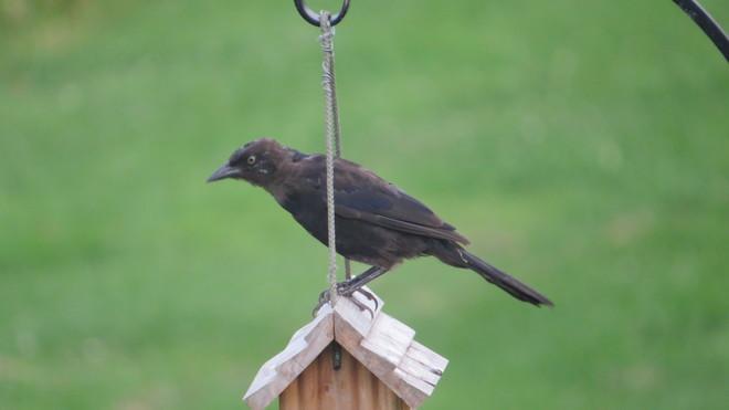 angry bird Rutherglen, Ontario Canada