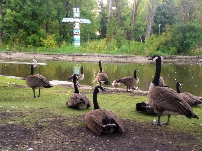 Geese in St Vital Park Winnipeg, Manitoba Canada