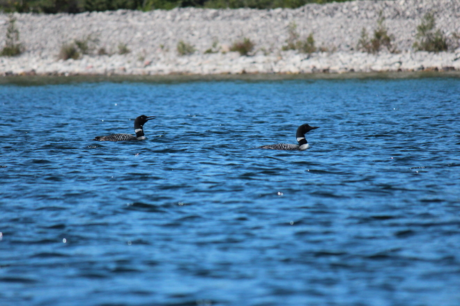 Pair of loons Tolsmaville, Ontario Canada