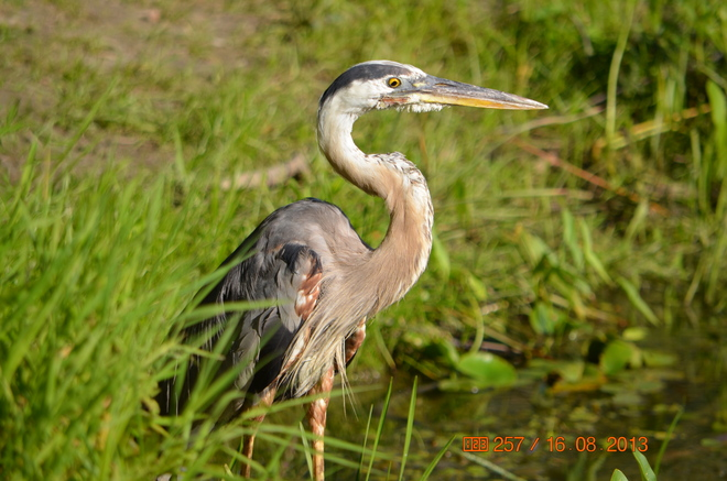 Blue Heron up-close