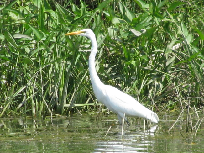 White Egret On The Grand River St. Catharines, Ontario Canada