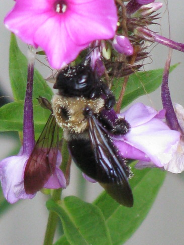Bee Enjoying A Snack St. Catharines, Ontario Canada