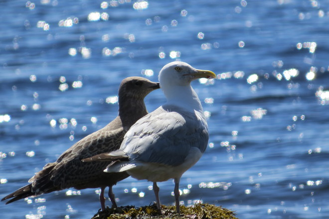 Mother Herring Gull and Her Juvenile Chester, Nova Scotia Canada