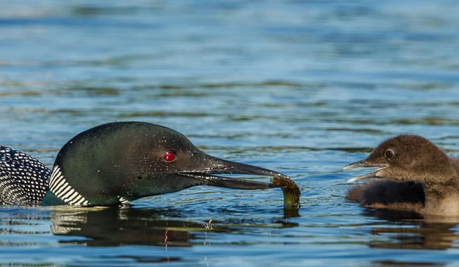 Common Loons....Mom Feeding Young Wallace, Nova Scotia Canada