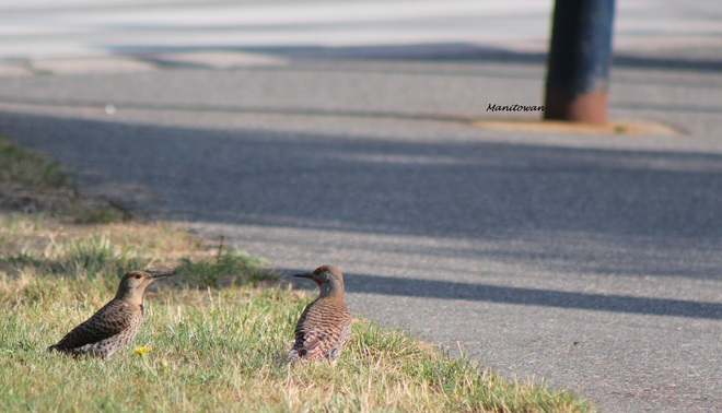 Northern Flicker Xcrossing New Westminster, British Columbia Canada