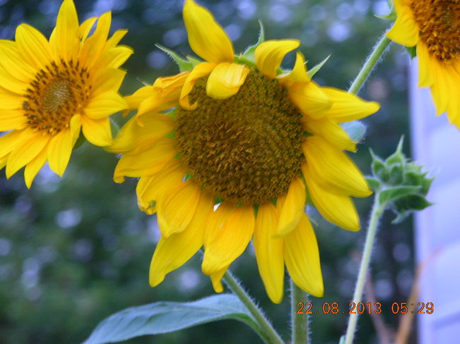 Sunflower that fell out of the birdseed........not bad Salisbury, New Brunswick Canada