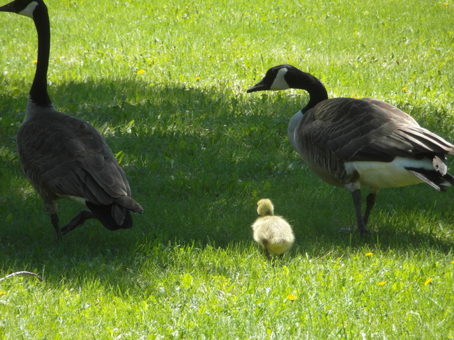Geese Family St. Clements, Manitoba Canada