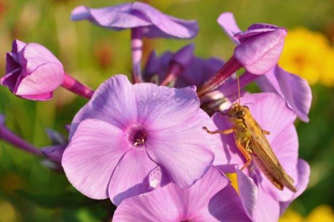 Grasshopper Erin, Ontario Canada