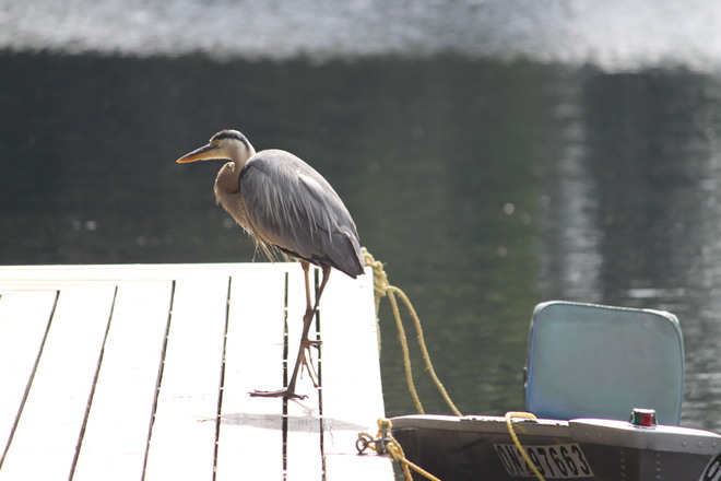 Heron at Pine Grove Resort Cottages Port Loring, Ontario Canada