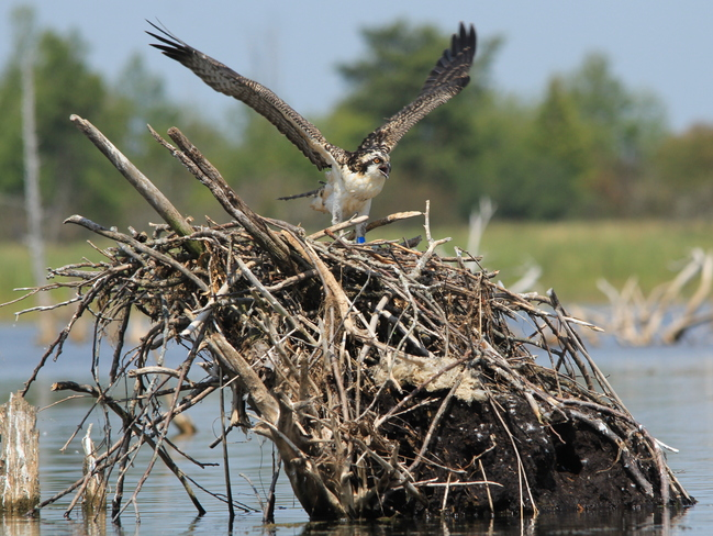 Osprey nest at Luther Marsh Fergus, Ontario Canada