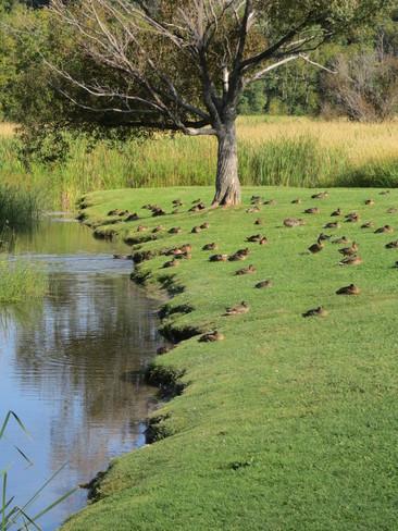 The Last Of The Ducks Sudbury, Ontario Canada