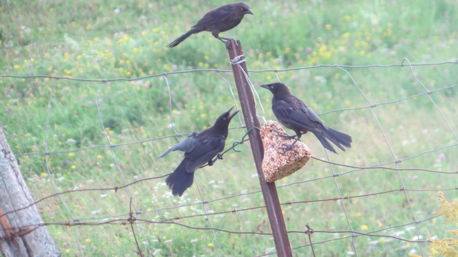 Three grackles at the feeder Rutherglen, Ontario Canada