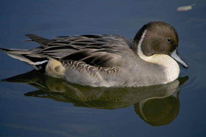 Pintail Perfection Delta, British Columbia Canada