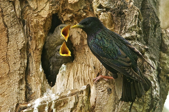 5a. Hungry starling chicks