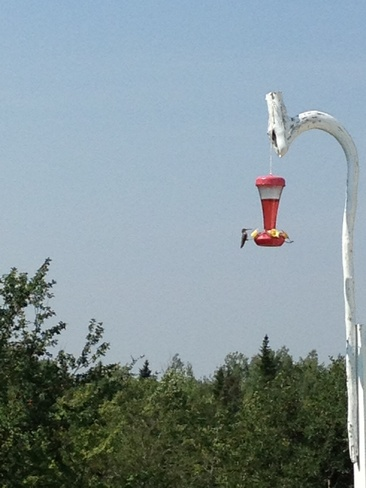 humming bird Drisdelle Settlement, New Brunswick Canada