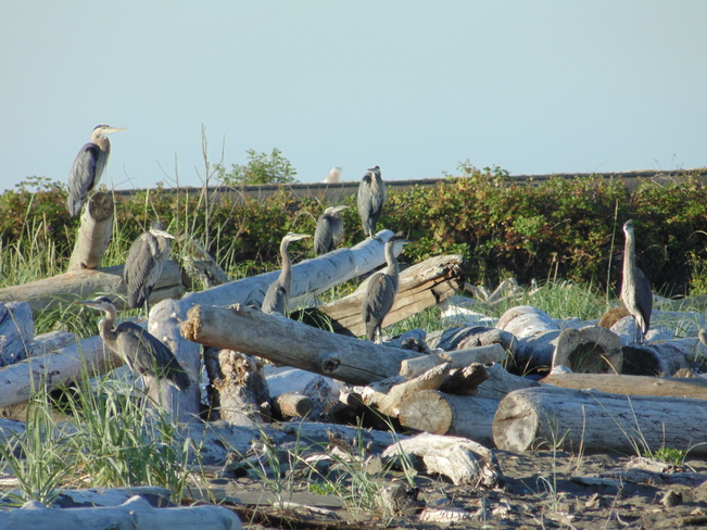 Eight Heron relaxing on the Iona beach Richmond, British Columbia Canada
