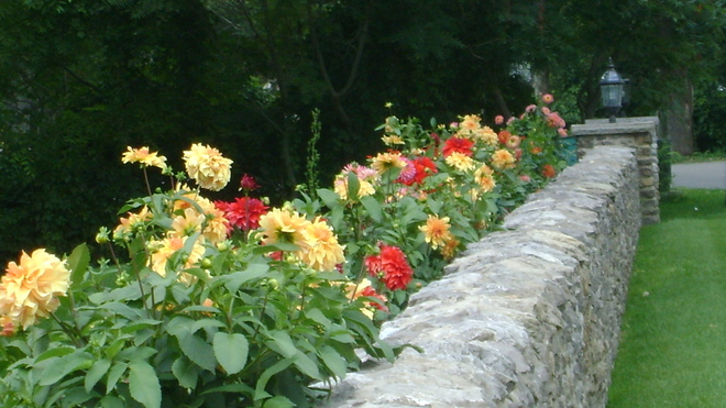 Dahlias along garden wall Crystal Beach, Ontario Canada