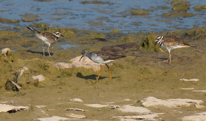Pair of Killdeer and a Yellow legs Welland, Ontario Canada