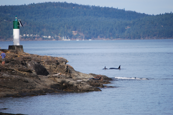 Orcas off Ruckle Point Salt Spring Island, British Columbia Canada