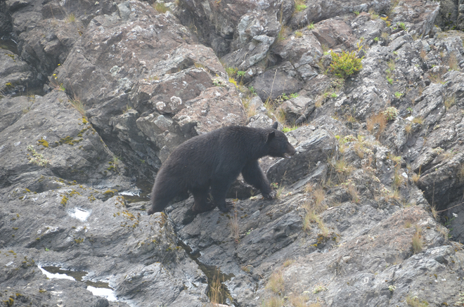 Black Bear on Lighthouse Trail Ucluelet, British Columbia Canada