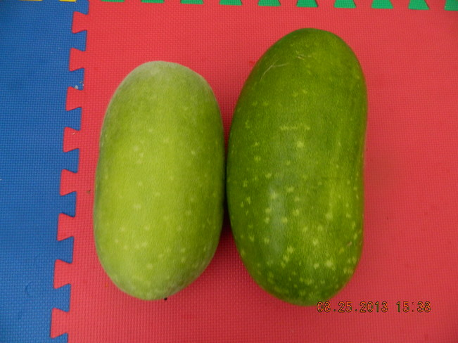 Two big hairy melons Markham, Ontario Canada