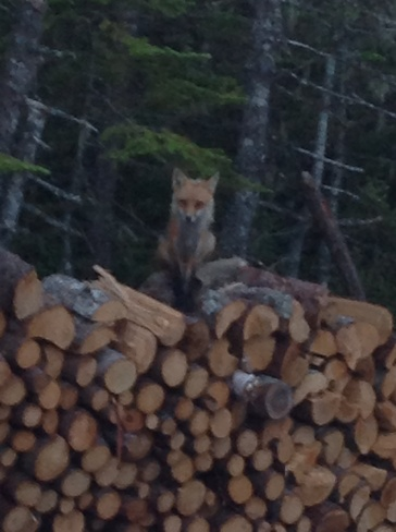 Don't disturb the fox in the wood pile Bay Roberts, Newfoundland and Labrador Canada