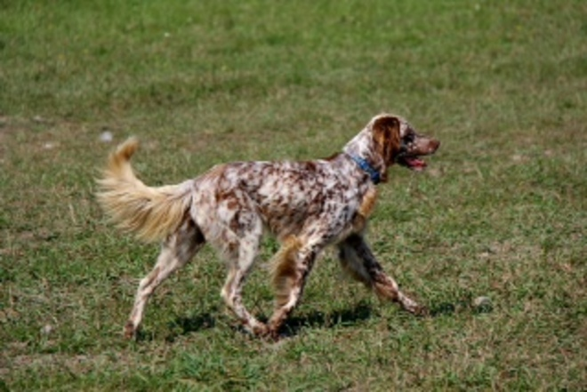 English Setter Kawartha Lakes, Ontario Canada