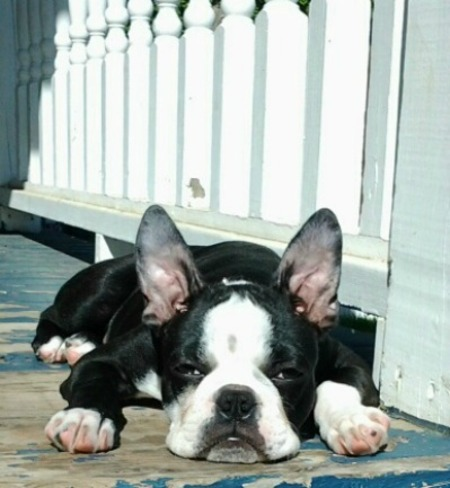 Our Boston Terrier Jax lazing in the sun Montague, Prince Edward Island Canada