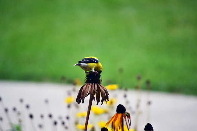 Finch on Coneflower St. Catharines, Ontario Canada