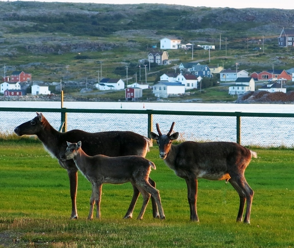 Family of caribou from our cabin window Joe Batt's Arm-Barr'D Islands-Shoal Bay, Newfoundland and Labrador Canada
