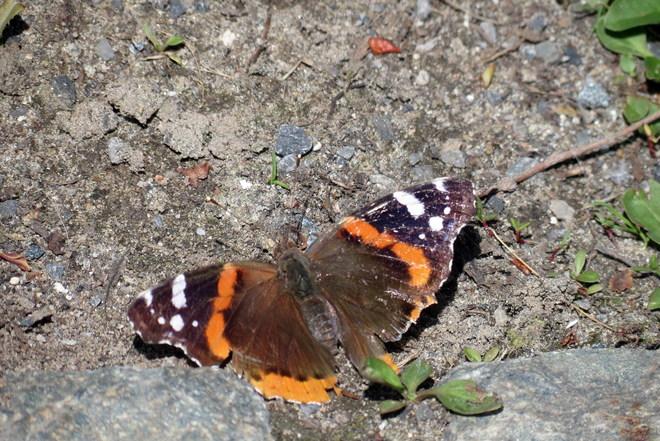 Papillon Montréal, Quebec Canada