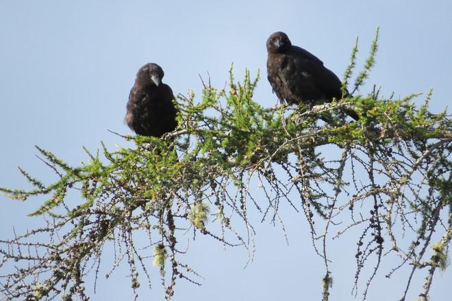 Crows in Love Chester, Nova Scotia Canada