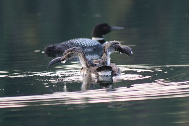Loon Baby Starting To Stretch It's Wings Temiskaming Shores, Ontario Canada
