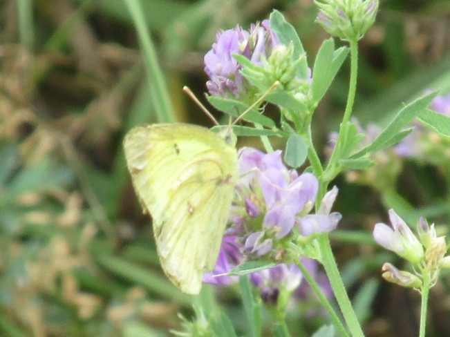 Yellow Cabbage Butterfly on Clover Moncton, New Brunswick Canada