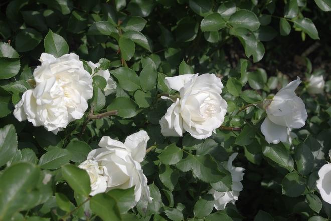 Roses Montréal, Quebec Canada