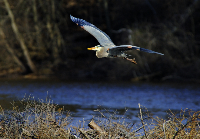 Heron in flight Hamilton, Ontario Canada