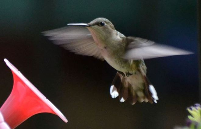 Awesome Hummingbird!!! Cantley, Quebec Canada