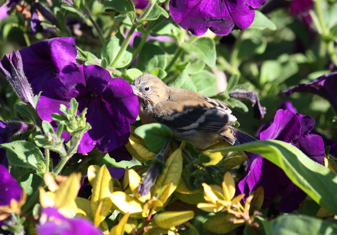 Baby bird in the petunias Ingersoll, Ontario Canada