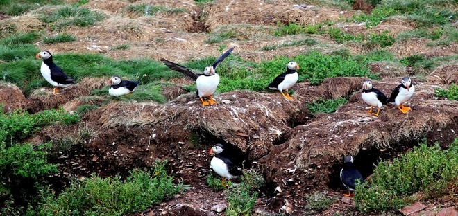 Puffins at Elliston, NL Mount Pearl, Newfoundland and Labrador Canada