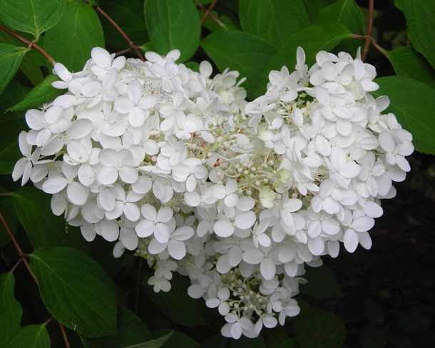 """This hydrangea is all """"heart"""" Dee Bank, Ontario Canada"""