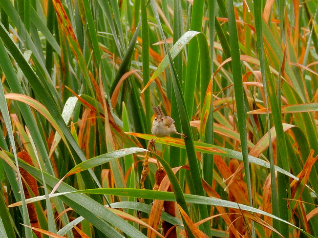 Marsh Wrens Don't Always Hide Port Perry, Ontario Canada