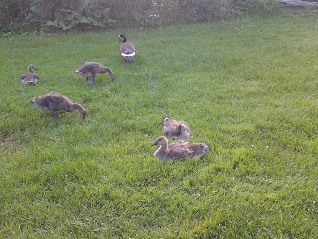 baby geese and family Brampton, Ontario Canada