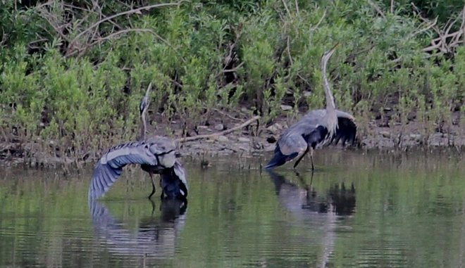Two Dancing Herons