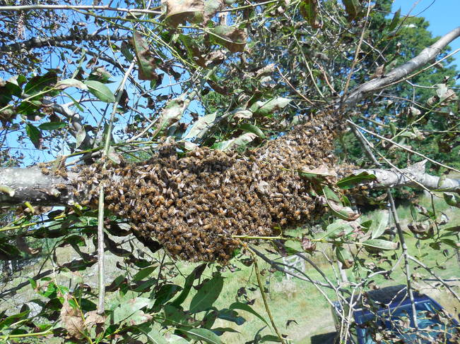 Capture of a swarm of honey bees Sharbot Lake, Ontario Canada