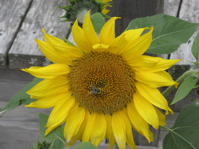 Bee invades Sunflower Sackville, New Brunswick Canada
